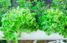 Free Lettuce In The Greenhouse Stock Images - 31421964