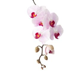 Free Orchid Stock Photo - 31422450
