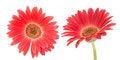 Free Red Transvaal Daisy Stock Photo - 31437740