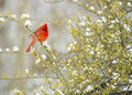 Free Red Cardinal Bird In Snow. Stock Photo - 31439830