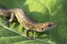 Free Lizard. Royalty Free Stock Images - 31435429