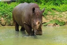 Free Rhinoceros Stock Photo - 31435500