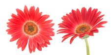 Free Red Transvaal Daisy Stock Photo - 31437740