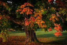 Free Single Tree Autumn Leaves Stock Photography - 31438212