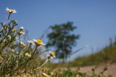 Free Field Chamomile Royalty Free Stock Photography - 31439627