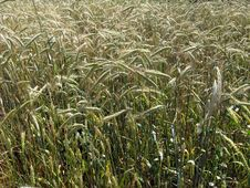 Free Spikelets Of The Wheat Stock Image - 31439821
