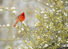 Free Red Cardinal Bird In Snow. Stock Photo - 31439830