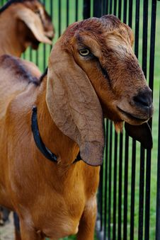 Free Goat In The Farm Stock Photography - 31440202