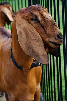 Free Goat In The Farm Royalty Free Stock Photos - 31440228