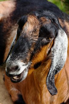 Free Goat In The Farm Royalty Free Stock Images - 31440299