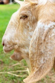Image Of Goat Face Stock Images