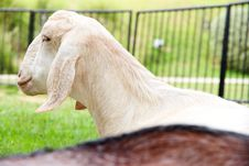 Free Goat In The Farm Royalty Free Stock Images - 31440469