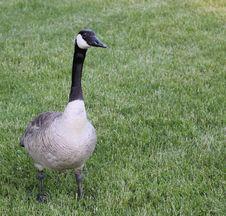 Free Staring Goose Stock Image - 31449751