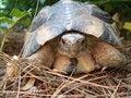 Free Greek Turtle Royalty Free Stock Photos - 31451528