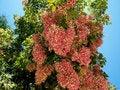 Free Pink Flower Tree Stock Photos - 31451573