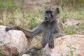 Free Smiling Baboon Stock Photos - 31453273