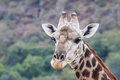 Free Giraffe Portrait Stock Images - 31453464