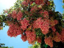 Pink Flower Tree Stock Images