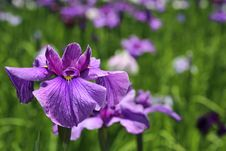 Free Purple Iris Stock Photo - 31457100