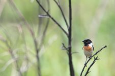 Free Stonechat On Twig Royalty Free Stock Photography - 31457237