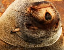 Free Cape Fur Seal Stock Photography - 31457372
