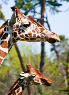 Free Giraffes Stock Image - 31458851