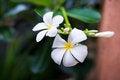 Free White Flowers On Dark Blurred Background Stock Image - 31466651