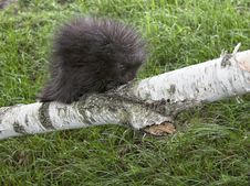 Free Baby Porcupine Stock Photo - 31460930
