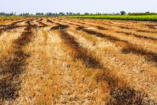 Free Golden Harvest Stock Image - 31462501