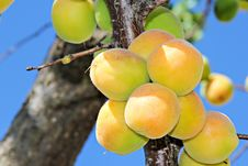 Free Apricots Royalty Free Stock Image - 31465426