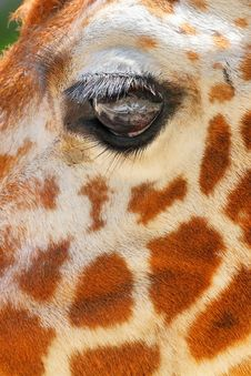 Free Giraffe Eye Stock Image - 31466121