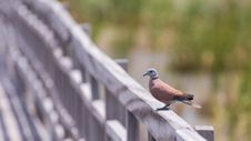 Free Swamp Bird Standing On The Wooden Rail Path Way Royalty Free Stock Photos - 31466328