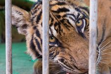 Free Wild Bengal Tiger Captured Behind Bars Stock Photo - 31466560