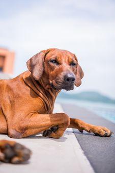 Thai Brown Dog Sitting Beside The Pool Stock Image