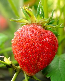 Free Red Ripe Strawberry Growing In A Garden Stock Photo - 31468810