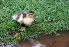 Free One Lovely Duckling On A Grassy Lawn Stock Photography - 31470522
