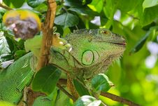 Free Green Iguana Royalty Free Stock Image - 31471206