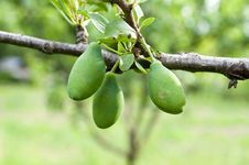 Free Green Plums Royalty Free Stock Image - 31471456