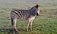 Free Zebras In The Mist... Royalty Free Stock Images - 31471599