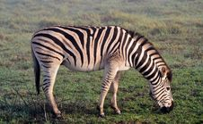 Free Zebras In The Mist... Stock Photo - 31471630