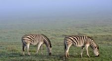 Free Zebras In The Mist... Stock Photos - 31471633