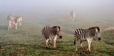 Free Zebras In The Mist... Royalty Free Stock Photo - 31471755