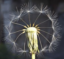 Free Fantasy With Dandelion Stock Photography - 31475702