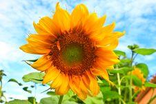 Free Sunflower Stock Photo - 31478290