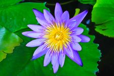Free Beautiful Blue Lotus Stock Image - 31478411