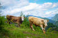 Free Cows In The Mountains Stock Images - 31485064