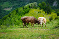 Free Cows In The Mountains Stock Photography - 31485162