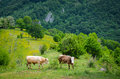 Free Cows In The Mountains Stock Photos - 31485213