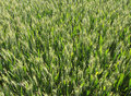 Free Green Wheat Field Royalty Free Stock Photos - 31486548