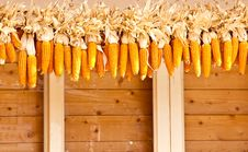 Free Many Corn. Royalty Free Stock Photo - 31480695